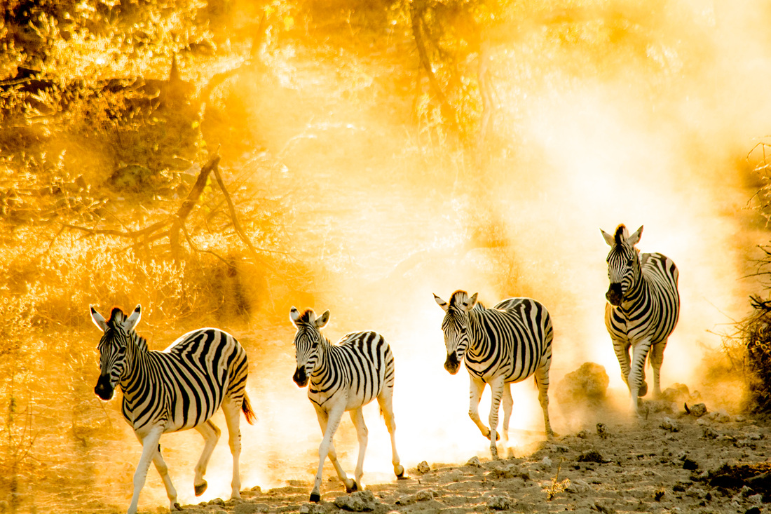 Photographs of Botswana by Melanie van Zyl Zebra